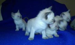 Four gorgeous little siamese kittens (lilac points, seal points) are looking for loving forever homes. Very friendly and curious; these kittens are already eating solid food, using the litter box and ready to go for Christmas. Their mother is a seal point