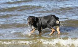 Seeka is a well behaved loving dog. She is almost 2yrs old and a blue heeler/rottweiler.  Her owner has unfortunately passed on and now she needs a new Mom.  She plays great with children and other dogs, very well tempered, and loves the water. Sadly my