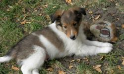 Two sheltie pups, dewclaws removed, vet checked, first shots given,  will consider partial delivery.     Picture #1 sable male #1  Picture #2 sable male #2