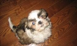 Beautiful Shih Tzu Puppies!   We have 7 Beautiful Shih Tzu puppies that were born in December 10, 2011 for sale. There are 4 boys and 3 girls and they are tri-colour. They are home raised, vet checked, first shots, and de-wormed. There are some early