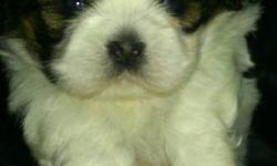 Beautiful Shih Tzu puppies, 1 girl, & 1 boy born Nov.17/2011.  Mom & Dad are both Shih Tzu?s, they weigh around 12lbs. & are much loved family pets.  The puppies have been raised in our living room, around children & cats.... Pee-pad training is going