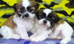 3/4 Shih Tzu x 1/4 Bichon puppies, healthy with sweetheart personalities. 1 Male and 2 Females. Ready to go. They come with shots to date, vet check and deworming. To good pet homes only. Call 1-204-347-5894.