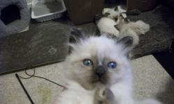 I have one female and one male non standard blue eyed himese kittens there selling price is $250.00,  I also have one male and one female standard blue eyed himeses munchkins,  they are like the cat version of the weinner dog.  there selling price is