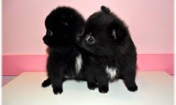 ~**~**~ BEAUTIFUL TINY TOY POMERANIAN PUPPIES ~**~**~ THEY ARE SOCIALIZED AND HANDLED EVERYDAY WITH MY FAMILY AND WE HAVE MOM ON SITE FOR YOU TO SEE HOW CUTE THEY WILL BE AS ADULTS. ALL THE PUPS HAVE CUDDLY LOVE BUG PERSONALITIES AND WILL GO HOME WITH