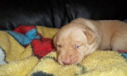 I have one really gorgeous Yellow  male (green collar). Parents are purebred Labrador Retrievers with great temperments very calm and well trained. Pups will carry this trait.  They will come with first shots be dewormed several times be vet checked and a