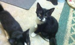 Kittens are 3 months, lots of personality and very playful. Litter trained as well. Must go, their starting to cost me a fortune in litter and cat food! Mother is on site, she is very laid back and good with kids. I have a 4 year old and 1 year old who