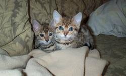 Purebreed Bengal Kittens for sale.  These beautiful little leopards make excellent pets.  Friendly, playful and very social.  They love spending time with their owners.   Kittens will be vet-checked, vaccinated and spayed or neutered before going to their