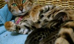 Bengal Kittens for sale!  These family raised kittens will be ready just in time to be enjoyed this Christmas season!  Highly social and beautiful cats that are fun and entertaining as well.  These cats come complete with Registration papers (TICA), first