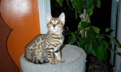 Purebreed Bengal kitten for sale, only 1 male left.  These little leopards make excellent pets.  This little guy has a fantastic personality.  Very social and beautifully patterned.    The price includes first vaccination, neuter and registration papers.