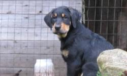Bernese Mountain Dog/Black Lab~Labernese Vet Checked and Ready to go! Originally asking 500$, now asking 300$ for the remaining 2 puppies.  1 male  - brown and black coloring(very playful personality) 1 female - black and white coloring(very sweet