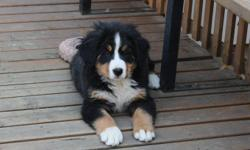 Bernese Mountain Dog Puppies.  CKC reg'd. Females. European bloodlines. They are Vet checked and have their shots. Written guarantee. Please call for more information at (403) 738-4261.