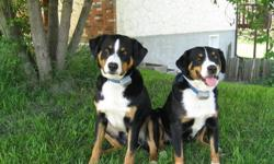 Swiss Appenzell mountain Dog   We have imported the Swiss Appenzell Mountain Dog in to Canada. The Appenzeller is a Not recognized dog breed in Canada. In the usa is a small club who are devoted to this breed. Our adult dogs are registered at the club as