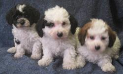 Adorable, family raised, well socialized, first generation cross puppies available for adoption immediately.  Our puppies have been vet checked, given their first vaccinations, and revolution treatment, they are also dewormed twice. Included with the