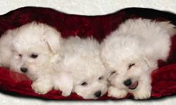 Pure-bred, little balls of cottony love. Non-shedding, non-allergenic breed. Well socialized with children and other animals. Both Parents area available to view. Puppies raised in home.   Comes with: Canadian Kennel Club Registration papers, Tattoo,