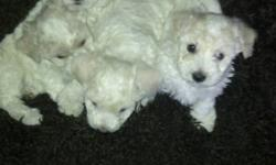 4 Bichon Frise Puppies for sale. 3 Girls 1 Boy. I own both parents who are Purebred Bichon Frise. Puppies are not going to be registered and I'm asking $450.00 . This is my dog's 3rd litter and the puppies are beautiful. Email to put a deposit on your