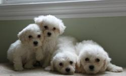 Beautiful purebred CKC registered Bichon Frise puppies. Born and raised in our home with our family.  Pups available now Puppis will be Tattooed, vaccinated, health checked, Two year guarantee, dewormed. Loving puppies, housetraining.  Both parents are