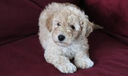 The puppies are non-shedding, intelligent, easy to train, cheerful, gentle mannered, perceptive, playful, affectionate and will make excellent companion dogs, just like their on-site parents (our pets). The mum and dad are cross miniature poodle x Bichon