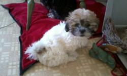 One Female Bichon Shih Tzu pup left. Very playful, been raised with other dogs, cats and kids. Has had 1st shot and dewormed, not vet checked. Mother is Bichon Shih Tzu and Dad is Shih Tzu. Phone 403-813-7416