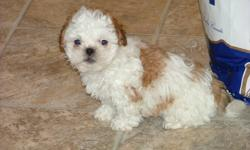 We have 4 adorable baby bichon shih tzu boys. Raised in a home with kids, they have excellent personalities. Asking $300 no shots. One white, One brown, Two brown and white. Great companions, they are perfect lap dogs.