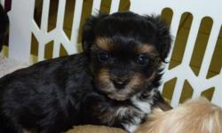 Bichon/Shih Tzu/Yorkie female puppies.  8 weeks old.  Beautiful colors, paper trained, family orientated, vet checked with shots.  Warranty.  Smart and cuddly.