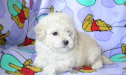 We have for sale 4 beautiful little Bichon pups  there is only 2 girls left they are about 3 pounds right now will grow to about 10 pounds when fully grown-They are hypo-Alergenic-Non Shedding-Great companions-Good with children-Very inteligent-Have had