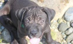 Bill (Puppy)'s info... Breed: Presa Canario/Pitbull Sex: Male Age: Puppy Size: Large 61-100 lbs (28-45 kg) Color: Chocolate Bill (Puppy) is... Housetrained Good with Kids Good with dogs Good with cats Up to date with shots Bill (Puppy)'s story... Hi, I?m