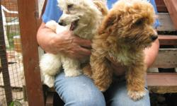 House raised Friendly happy healthy playful puppies ready for a family Dewormed Vaccination Vet Check Non-shedding Non-Allergenic, Raised in the Country and a nice drive towards Brussels, Ont.         PLEASE no emails call my mom, she has no computer and
