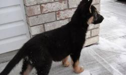 One black and tan male( SOLD ),Canadian Kennel Club registered german shepherd pup for sale. This male pup will come with CKC registered, micro-chip, de-wormed, vaccinated, and hip/elbow guaranteed. The Sire's bloodline is from working line make up of