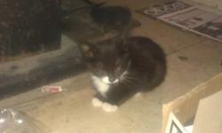 I have two black and white male kittens, 9 weeks old, litter trained and eating solid kitten food. Both friendly playful little kitties, white boots and tummys, one has a white patch on his chin the other a little white line between his ears. Good with