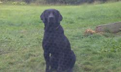 BLACK AND YELLOW LABS COME FROM EXCELLENT HUNTING STOCK BOTH MOTHER AND FATHER ON SITE