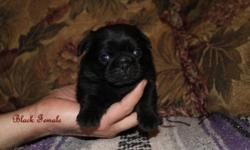 I have just one black female pug puppy left, she will have her bordertella vaccine soon, and her 4 way and worming when she is 6 weeks of age, she loves people and tries to play already, she is REAAAAALLL cute!  She loves the other dogs and my kids will