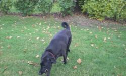 """Sara is a 95 pound Black Lab mix. Sara is a very loving dog, she loves being around people and getting all the attention. She is spayed, and shots up to date. Here are a few things her foster parents have said about her- """"I can't believe how affectionate"""