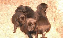 I have 4 female black lab puppies and 1 male black lab puppies. The parents are a female Yellow Lab and a male Chocolate Lab. These puppies are raised outside and will make a great family pet, they are really friendly and have a very temperment. This