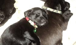 black lab puppies for sale going fast only 4 left out of 10 3 females and 1 male please call 613-478-2750 more up to date pictures! ready to go before christmas they all have new collars so when you pick the one you like we will mark it down with the