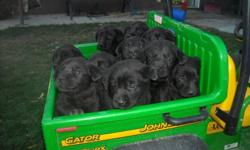 Great black lab puppies.. 3Females. Come from a good line of hunting dogs. They are good with kids, other dogs and cats. They are vet checked, and given first shots. Call for any questions 4033820105