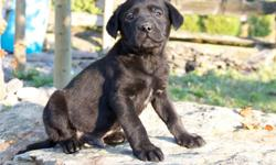 Adorable Black English Lab Puppies, 7 males, great family dogs! Vet checked, dewormed, farm and family raised, ready to go to their new homes. Please call or email with any questions, or for more pictures. 604-856-3826 or 604-855-2213 (cell)