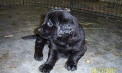 Black lab puppies for sale,  vet checked, all shots and dewormed, ready to go now, phone 778 475 4365. Vernon.