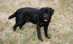 Black male labrador puppy - 8 weeks old and ready to go.  Father is a black lab imported from the UK (see photo), mother is a yellow lab - both parents are purebred but puppy does not have kc papers.  Will make a wonderful family pet.  Only to go to a