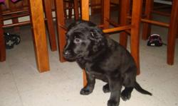 I have two male black lab pups looking  for good homes. I am willing to meet buyers part way and I do travel into Sudbury quite often. Please contact for more information!