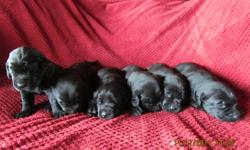 Black Labrador Retrievers Only 4 females left from a litter of 8. Mom is a purebred chocolate lab and Dad is a purebred black lab. Puppies will be available to go to their new homes on Christmas Eve. Pups are $350 without papers. They will have had their