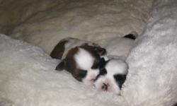 Beautiful shih-tzu male puppy with perfect black mask, white body and black ring on tail! available in 7 weeks just for you & nurtured loved and being outside potty trained as well!