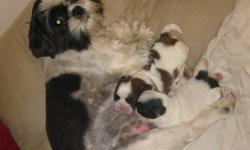 black mask shih-tzu puppies. beautiful with a laid back personalities to match!