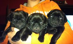 pug puppies for sale, 2 males and 1 female boy1 is a pudgy and very loving boy 2 is energetic and playful girl is so loving and loves to sleep around dad is a fawn pug and mom is a black pug with white patch. Puppies have already been eating soft food for