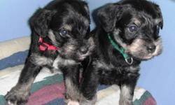 We have two beautiful black/silver male miniature schnauzer puppies available for homes at the end of October.   These precious little fur babies are out of registered parents and are raised in our home with lots of attention and socializing.  Potty