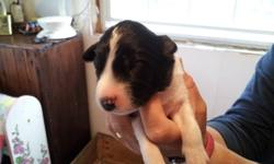 Black & white border collie puppies; we still have 3 cute little females looking for homes; parents both have great work ethic and are here on the farm; my collies are known for their temperment; price includes first vet checkup and dewormings; the farm's