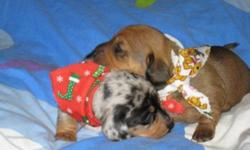 Dachunds are a hardy, sweet, and comical breed. They need two walks a day and minimal grooming. They are very loving and social. Both parents of our litter are on site and available to meet. They have exceptional temperaments and no health issues. Our