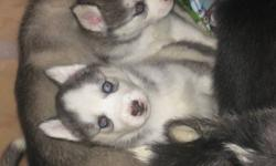 we have 3 Blue eyed Female purebread Siberian Huskys looking for their homes. we are located in LONDON. they are ready this wed after they get their first set of shots. If the pic of the pup you like is still up then she is still in need of a home. the