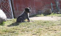 Blue Heeler pups for sale. born August 30 2011. Parents are good working cattle and sheep dogs.