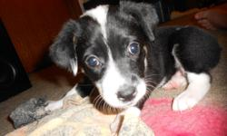 I have a littler of the smartest most adorable blue heeler border collie crosses ready to be rehomed January 8th. Please email and I will send you pictures of the puppies, mother and father. And some home movies of the pups if you would like. Reply via