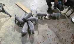 We have 8 Blue heeler puppies for sale. 2 males 6 females. Price is $100.